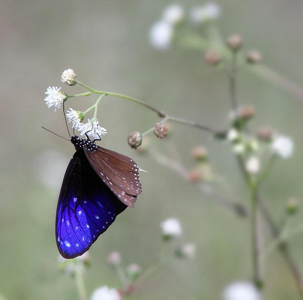MG1125 • Papillon non identifié Népalais