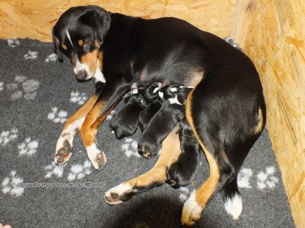 Sennenhunde beim säugen