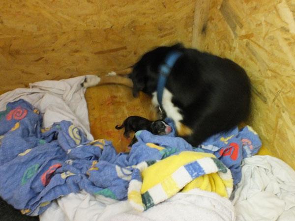 Appenzeller Sennenhunde, Welpe aus dem Flößerdorf