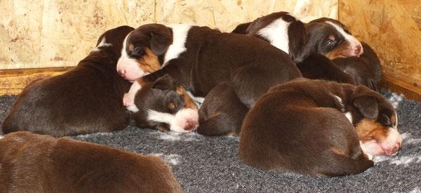 VGAS Zucht von Appenzeller Sennenhunden