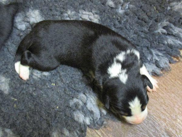 Casper, Appenzeller Sennenhunde aus dem Flößerdorf