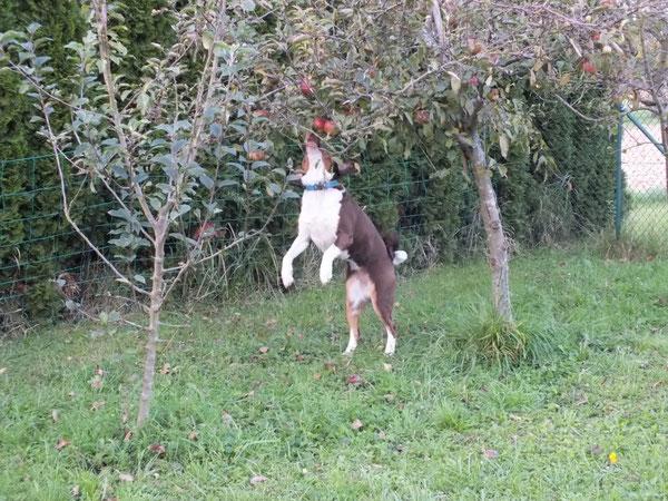 havannabrauner Appenzeller Sennenhund beim Apfelklau