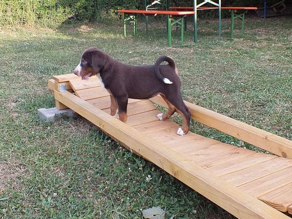 havannabrauner Appenzeller Sennenhund Welpen