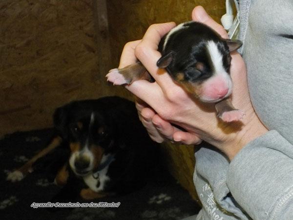 Sennenhund Welpen in der Wurfkiste