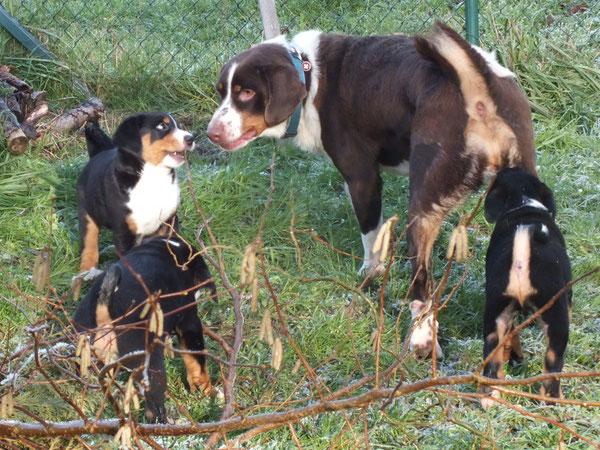 Sennenhunderudel aus dem Flößerdorf
