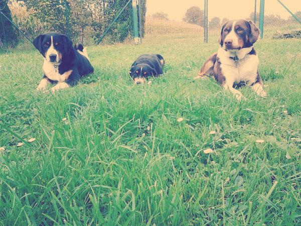 Appenzeller Sennenhunde auch in havannabraun