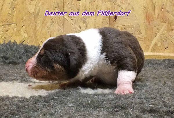 Dexter, havannabrauner Rüde aus dem Flößerdorf