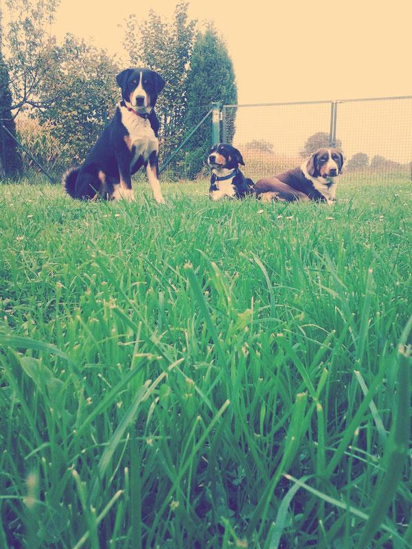 Appenzellerhunde, egal ob schwarz oder havannabraun, Hauptsache Appenzeller