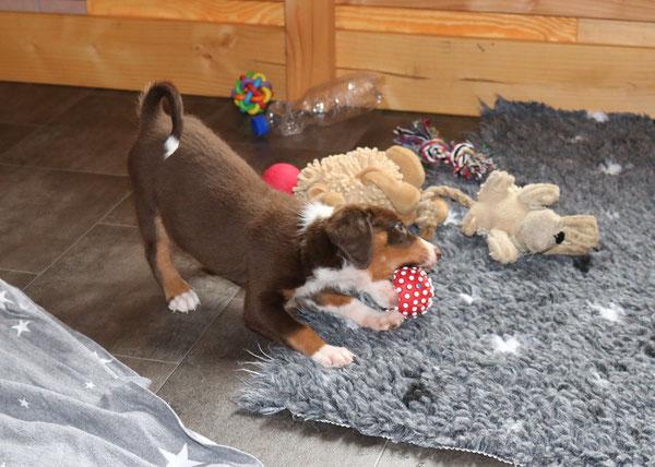 Appenzeller Sennenhund in braun