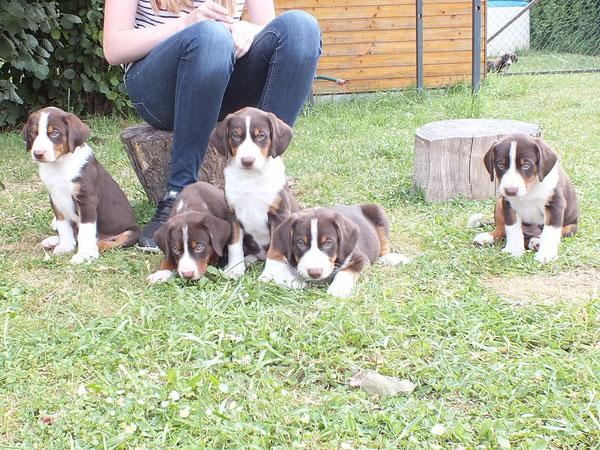 Appenzeller Sennenhundezucht von Kirsten Becker