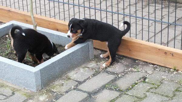 Sennenhundewelpen aus dem Flößerdorf