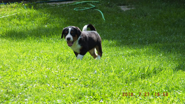 Appenzeller Sennenhund von Kirsten Becker