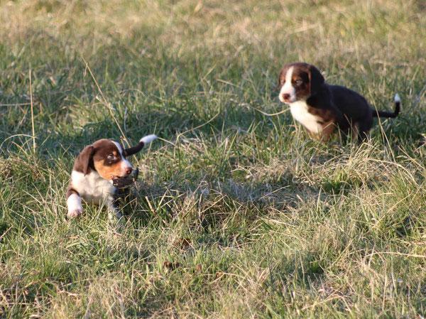Appenzeller Sennenhunde Welpen aus dem Flösserdorf