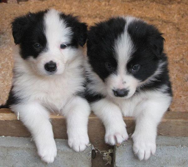 cuccioli border collie bianco neri