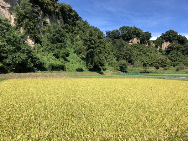 金色に色づいた御代田町の湯川沿いの田んぼ。9月16日。