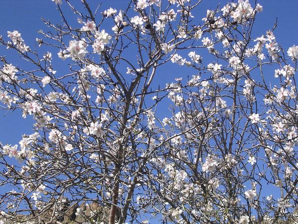 Mandelbaum in Ayacata, Seehöhe ~1300m, Datum: 10.1.2011 !!