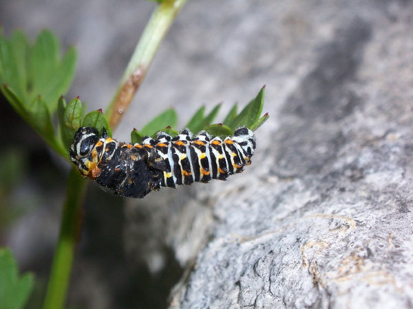 Papilio machaon (Schwalbenschwanz) am Abstreifen der alten Haut