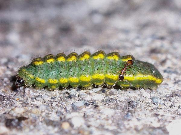 Raupe von Ameise begleitet (Polyommatus coridon)