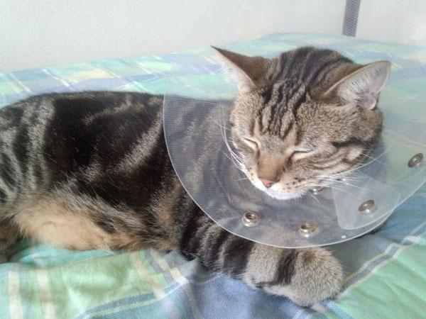 エリザベスカラーを付けた愛猫