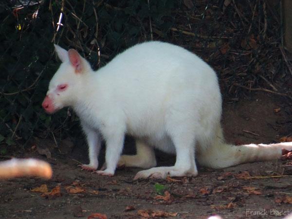 wallaby albinos