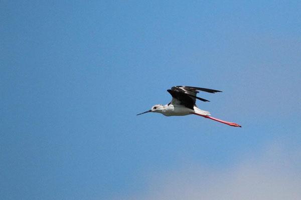 Echasse blanche en vol au dessus d'un plan d'eau