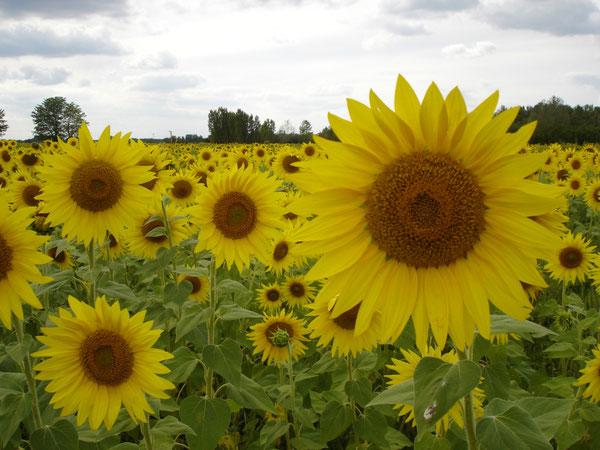Sonnenblumenfeld in Ruzsa