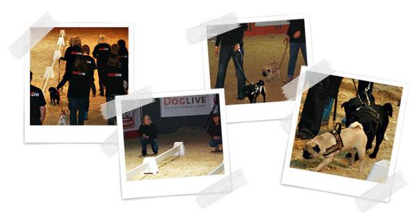 Mein erstes Mopsrennen bei der Doglive 2011 - Einzug, Rennen, Gegner und schicke Mopsdamen