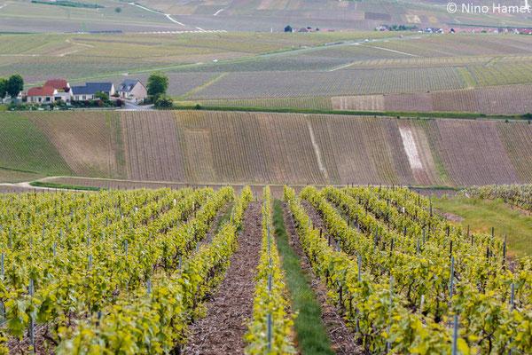 Voici les vignes de Dom Perignon !