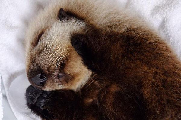 眠っているラッコの赤ちゃんほど可愛らしいものはない(Photo: Vancouver Aquarium/Facebook)