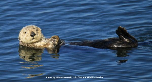 ラッコがあなたに気が付いたら、それは近づきすぎということです。Photo by Lilian Carswell, U.S. Fish and Wildlife Service.