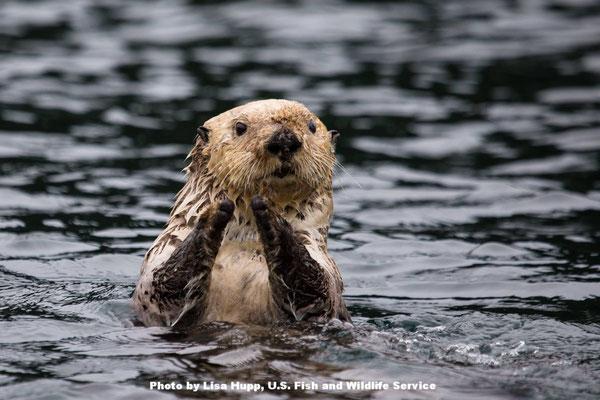 ワクワクしている人は?このラッコはアラスカのコディアック国立野生動物保護区のラッコです。拍手しているように見えますが、手を濡らさないようにして熱を節約しているのです。Photo by Lisa Hupp, U.S. Fish and Wildlife Service