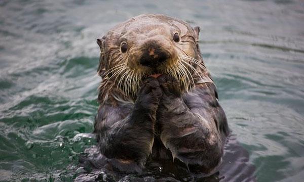 ラッコは旺盛な食欲でウニを食べる。また動物の中でもっとも密度の高い体毛を持つ。Photograph: Alamy