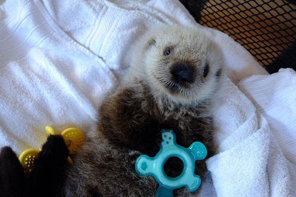 このラッコの赤ちゃんは最初にケアを受けた港の名前をとって最近ハーディと名付けられた(Photo: Vancouver Aquarium/Facebook)