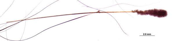 この拡大写真は、2種類の異なるラッコの毛の様子を示している。先に藻類が付着した長いガードヘアと、アンダーファー(下毛)の細い毛だ。紅藻類はガードヘアの根元やアンダーファーには生えていない。Photo by MELISSA MILLER