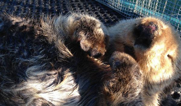 ウォリーは海洋哺乳類保護センターへ来た時には酷い状態だったが、素晴らしい回復を遂げ、その中で多くの人々の心を射止めた