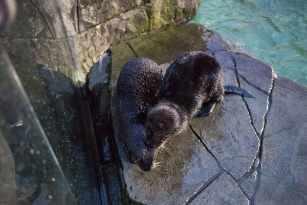 ラッコたちは少しづつ新しい住まいに慣れつつある Photo: Vancouver Aquarium