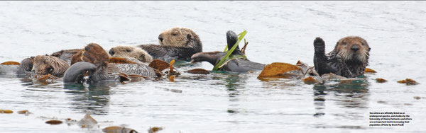 ラッコは公的に絶滅危惧種に制定されており、アラスカ大学フェアバンクス校や他の機関による研究はその個体数を増やす上で重要だ(Photo by Brent Paull)