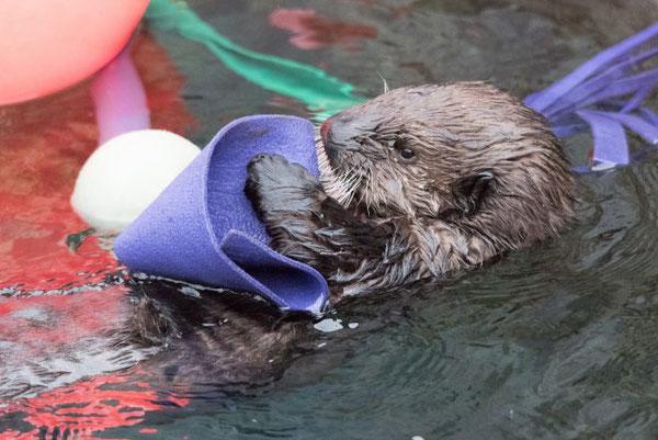 にせケルプのようなエンリッチメントのおもちゃは、リアルトをアクティブにし、刺激を与えます。Photo: Vancouver Aquarium