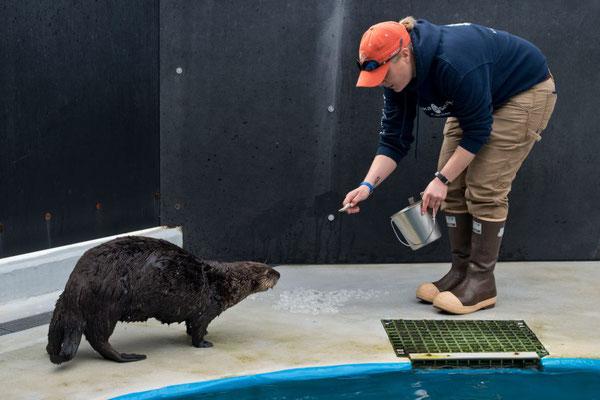 アラスカシーライフセンターの海洋哺乳類学者エミー・ウッドがラッコにエサを与えている。2016年5月3日。ウッドによるとシーライフセンターが保護したラッコは野生に返せないのだという。センターがこのラッコたちのために、受け入れ施設を見つけることになる。Marc Lester / ADN