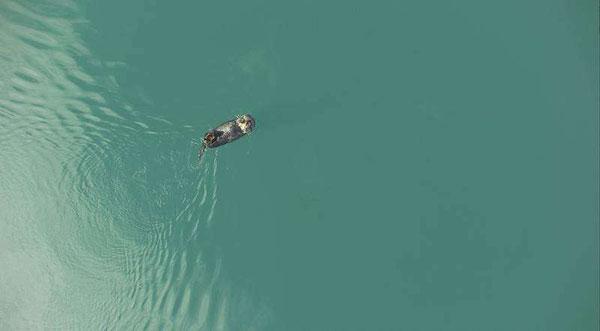 無人航空機から撮影されたラッコ。何か食べている様子。Credit: ACUASI