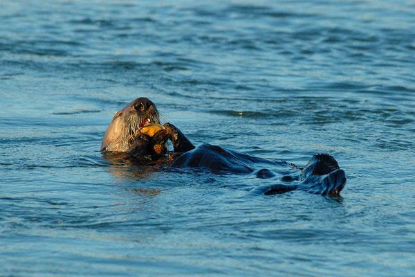 7月初め、リチャードソン湾でムラサキガイを食べるラッコ(Photo by youtube user NorthwesternPacificHistoryIsCool)