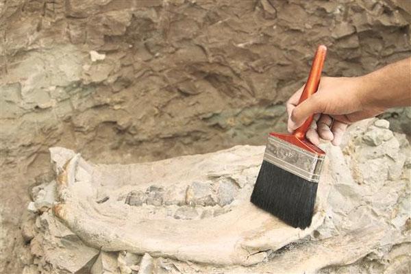 ラッコの化石。約800年前のもので、この辺りは森だったという。AA photo