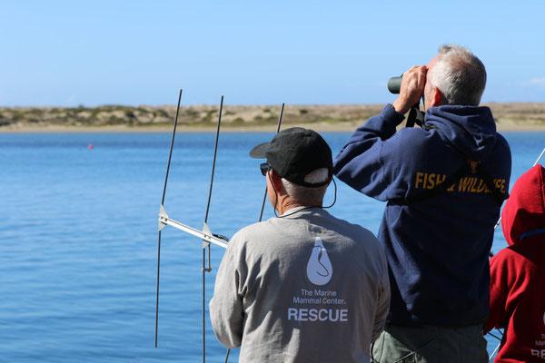 海洋哺乳類センターのサンルイスオビスポオペレーションのボランティアとカリフォルニア州魚類野生生物局のマイク・ハリス(中央)がモロ湾にリリースされたカリフォルニアラッコのオットーを追跡している。オットーはライフヒストリートランスミッター(LHX)タグを体内に埋め込んでリリースされている。そのタグは特殊なセンサーを使ってこのラッコの一生に関するデータを集める。 Credit Brian MacElvaine © The Marine Mammal Center, USFWS permit #MA101713-