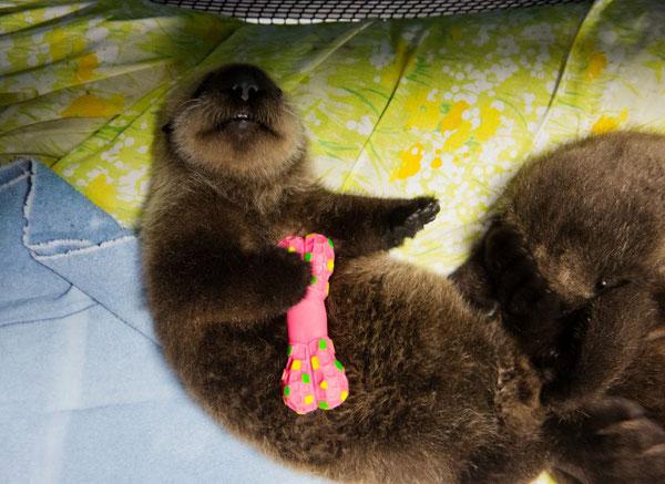 ラッコたちが24時間体制のケアを受けているアラスカシーライフセンターで、チュートイ(噛むおもちゃ)を持つラッコの子ども。センターにいる7頭のうち2頭は約生後2か月になる。Marc Lester / ADN