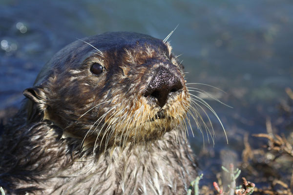 Southern sea otter. Photo by Lilian Carswell/USFWS