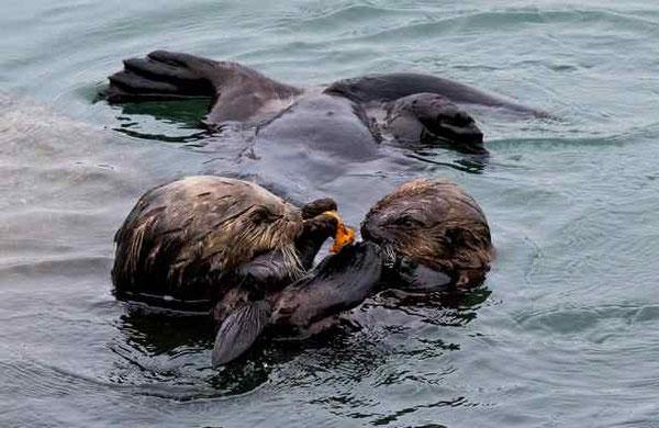 母親ラッコが子どもにエサを与えている。エルクホーン湿地帯にて。Kim Steinhardt