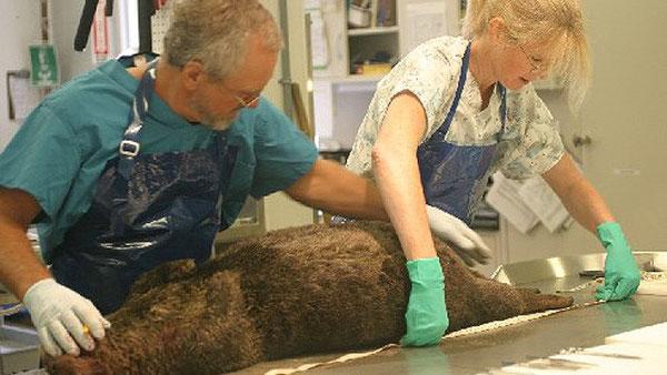 ラッコの死因を解明するため死後解剖を行うメリッサ・ミラー博士(右)Source: California Department of Fish & Game.