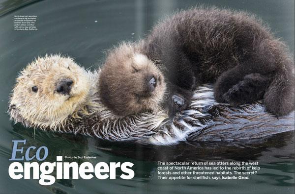 北アメリカのラッコは沿岸生態系に大きな影響力を持つ。ビーバーが陸上で生態系に影響を持つのと同様だ。写真はカリフォルニア州モントレー湾で、母親と生後3日の赤ちゃん。Photo by Suzi Eszterhas