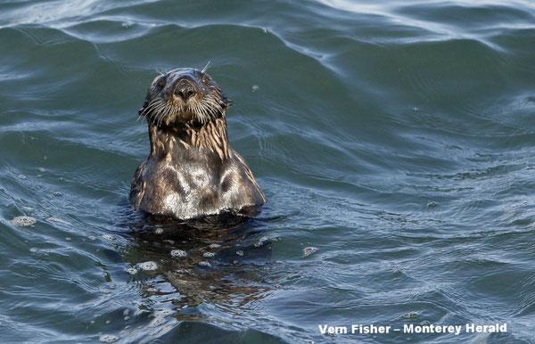 モスランディングハーバーを泳ぐラッコ 2016年10月17日撮影(Vern Fisher – Monterey Herald)