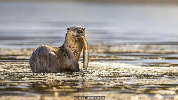 カワウソは魚をとるエキスパートだ(credit: Charlie Hamilton James)